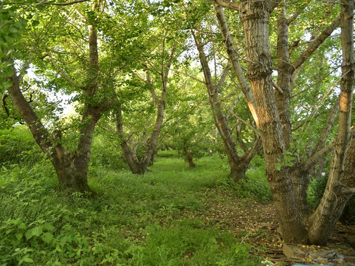 銀杏の木が並ぶ圃場