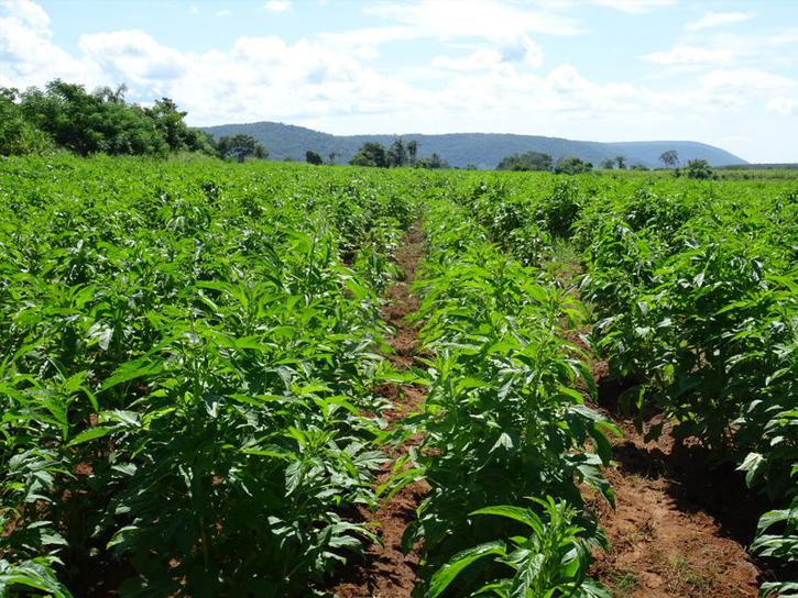 パラグアイの圃場その2