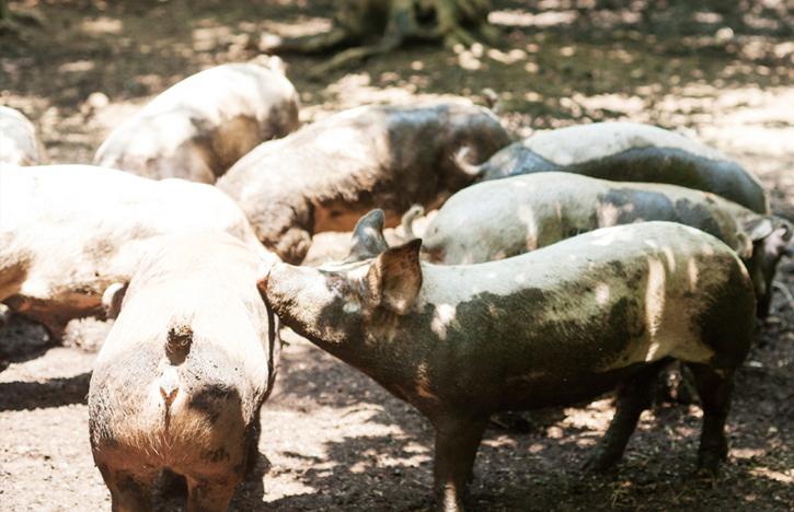 ノンストレスの環境!豚同士も仲良し