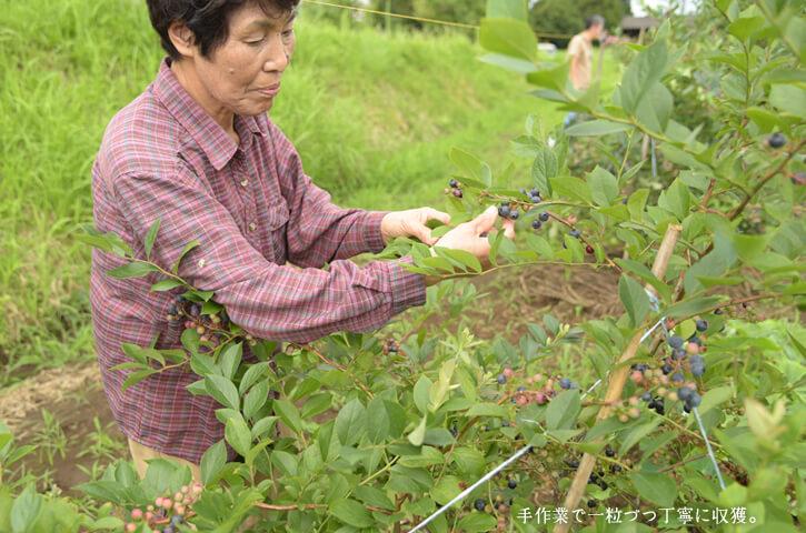 城さんブルーベリー収穫