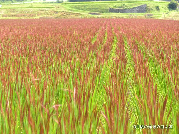赤いじゅうたんのような赤米の田んぼ