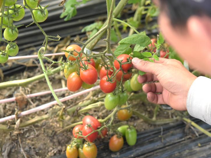トマトの具合を見る