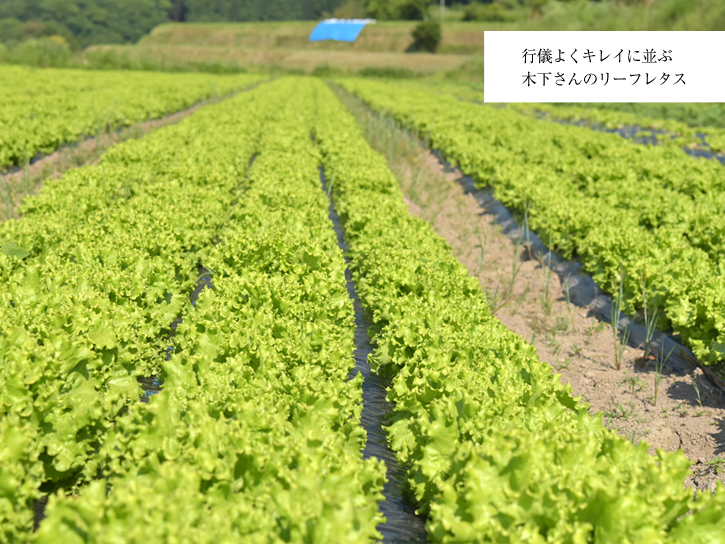 キノファームの無農薬リーフレタス