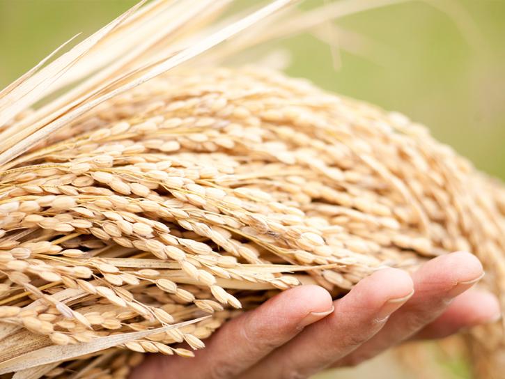 乾燥させた稲
