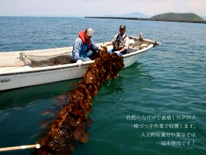 クロメの収穫