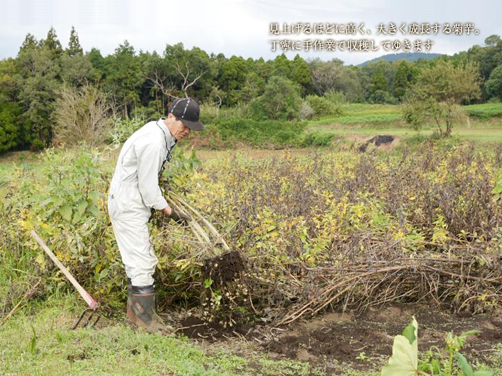 菊芋の収穫風景