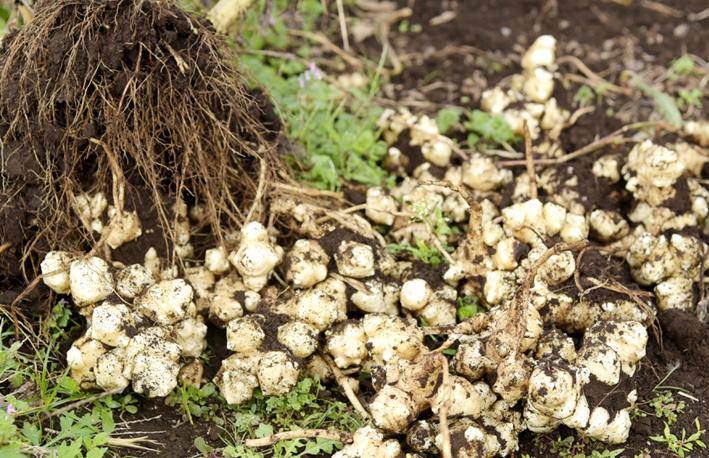 土から掘り起こした菊芋