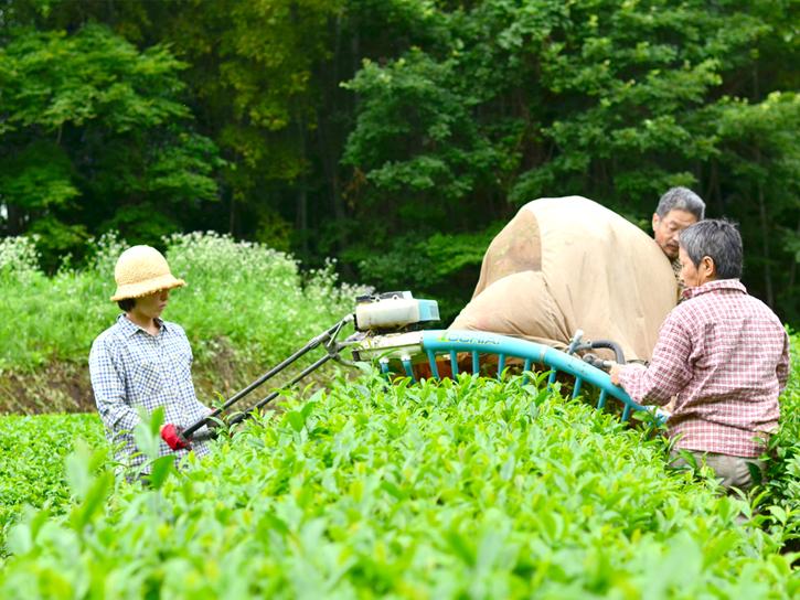 お茶を収穫する高島和子さん