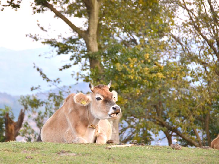 玉名牧場のジャージー牛