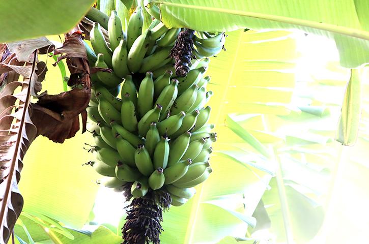 玉城バナナ3