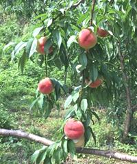 �松さんの桃の木