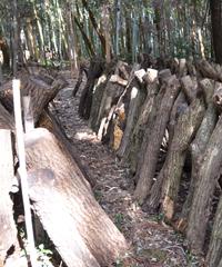 ほだ木が並ぶ椎茸の圃場