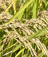 頭を垂れる黄金色の稲