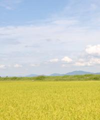 冨田自然米の稲穂の写真