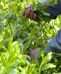 中尾さんのお茶収穫風景