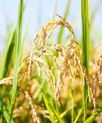 美しい宮川さんの稲
