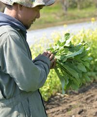 水口さんのらぼう菜を収穫
