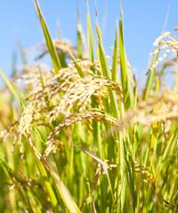 「もっこす米」の稲穂