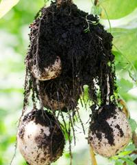 ふわふわの土から上げたジャガイモ