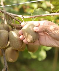 キウイを収穫する手
