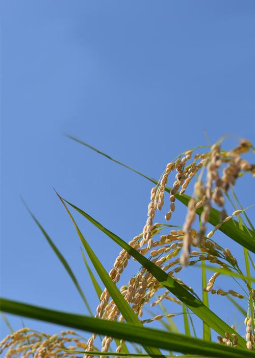 青空に映える、黄金色の「薫」の稲穂の写真