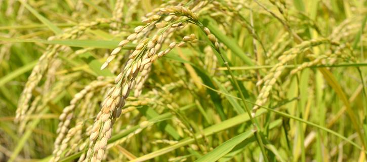 ぎっしりと籾をつける稲穂の写真
