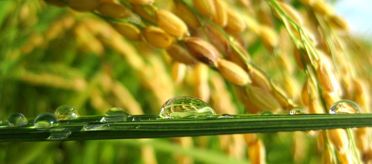 稲穂と雫の写真