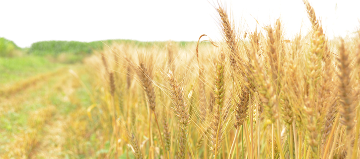 増永さん麦畑