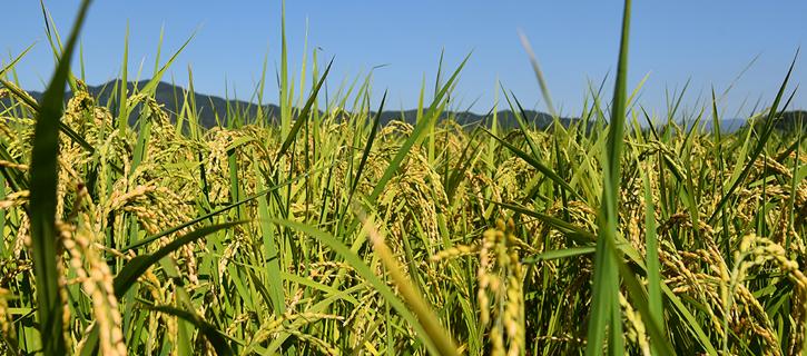 稲刈り風景の写真