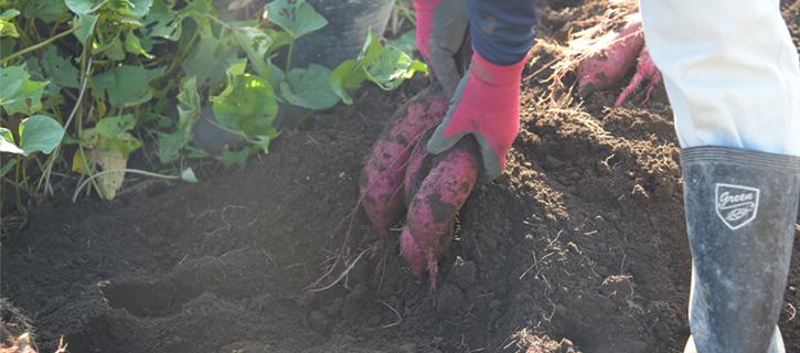 掘り起こされたさつま芋
