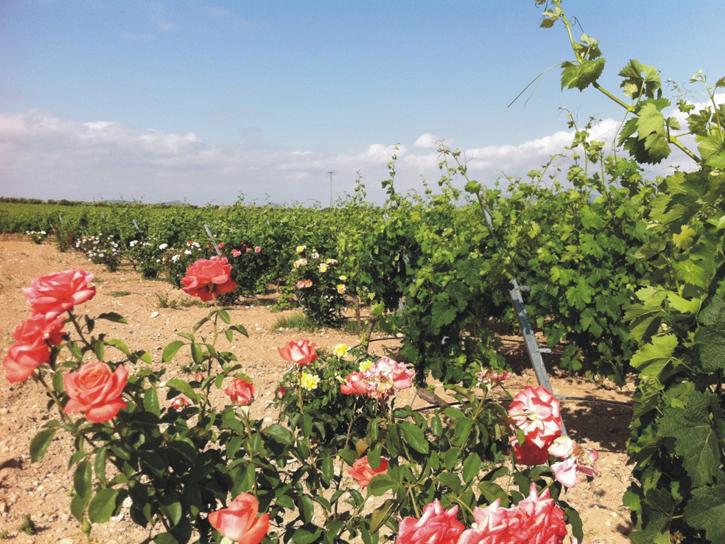 花が咲いているブドウ畑