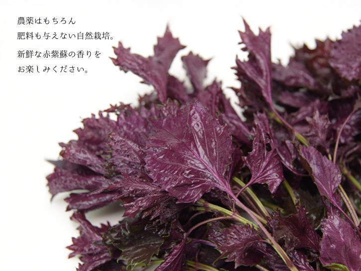 みずみずしい赤紫蘇
