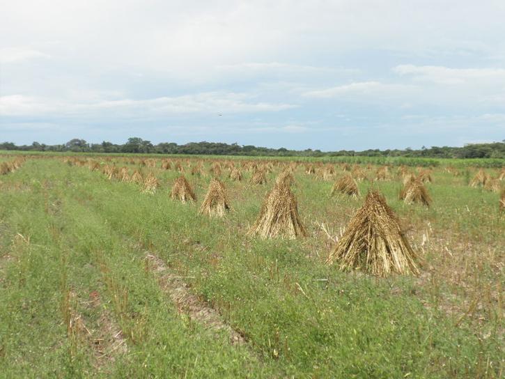 ゴマの乾燥風景