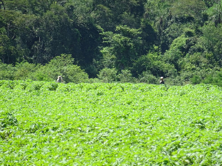 パラグアイの圃場