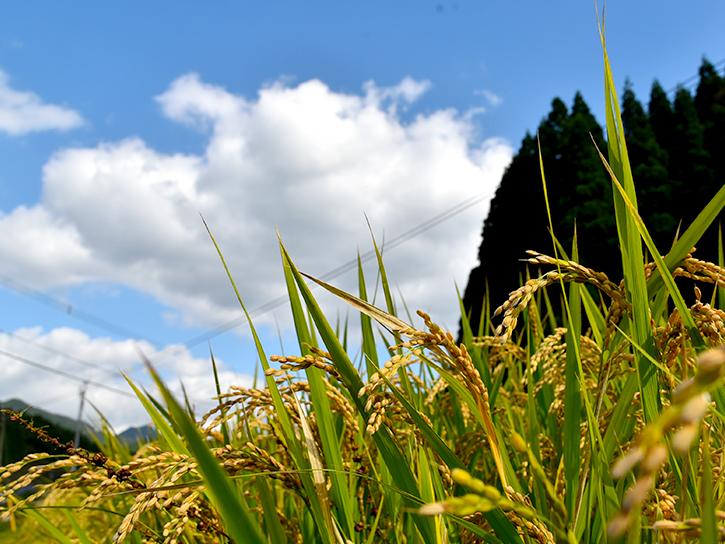 池辺さんの田圃風景