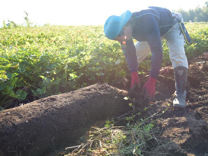 さつま芋を収穫する山本さん