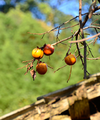 屋根の上の柿