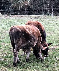 ジャージー牛2匹