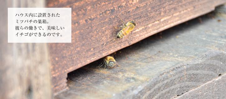 伊藤さんの蜜蜂