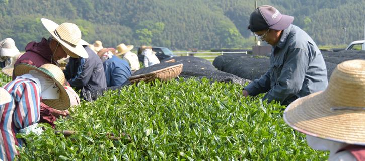 新茶を収穫